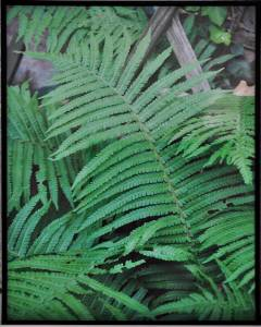 Plakat/ obraz Fern Leaves
